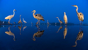 Little egret (Egretta garzetta) and Grey herons (Ardea cinerea) reflected in lake at twilight, Lake Csaj, Pusztaszer, Hungary. June. Winner of the Portfolio category of the Terre Sauvage Nature Images...  -  Bence  Mate