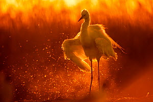 Little egret (Egretta garzetta) shaking water off wings at sunset, Lake Csaj, Pusztaszer, Hungary. May. Winner of the Portfolio category of the Terre Sauvage Nature Images Awards competition 2015. - Bence  Mate