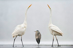 Two Great egrets (Ardea alba) standing opposite each other with Grey heron (Ardea cinerea) in between. Lake Csaj, Pusztaszer, Hungary, January. Winner of the Portfolio category of the Terre Sauvage Na...  -  Bence  Mate