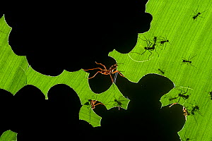 Leafcutter ants (Atta sp) colony harvesting a banana leaf, Costa Rica. 3rd place in the Insects and Spiders category of the Terre Sauvage Nature Images Awards competitions 2015.  -  Bence  Mate