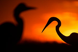 Great white egret (Ardea alba) silhouetted at sunset, Lake Csaj, Pusztaszer, Hungary, February. Winner of the Portfolio category of the Terre Sauvage Nature Images Awards competition 2015.  -  Bence  Mate