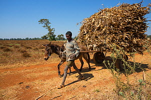 Men with harvest of Corn (Zea mays) on a donkey-pulled cart, Jimba, Lake Tana Biosphere Reserve, Bahir Dar. Ethiopia.  December 2013.  -  Bruno D'Amicis