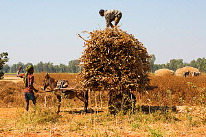 Men piling harvest of corn (Zea mais) on a donkey-pulled cart. Jimba, Lake Tana Biosphere Reserve, Bahir Dar. Ethiopia. December 2013. - Bruno D'Amicis