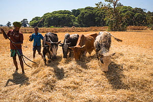 Amhara farmers with cattle grazing on harvested Millet, (Panicum miliaceum) Jimba, Bahir Dar. Lake Tana Biosphere Reserve. Ethiopia, December 2013.  -  Bruno D'Amicis