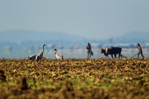 Common cranes (Grus gurs) in field with people and cattle in the background, Lake Tana Biosphere Reserve, Ethiopia. December 2013.  -  Bruno D'Amicis
