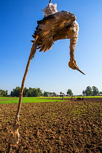 Dead eurasian cranes (Grus grus) juvenile hanging as scarecrow in cultivated fields on shores. Shesher lake, Fogera Plains. Lake Tana Biosphere Reserve  -  Bruno  D'Amicis