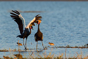 Black crowned crane (Balearica pavonina) pair with one stretching wings, Fogera plains, Lake Tana Biosphere Reserve. Ethiopia. - Bruno D'Amicis