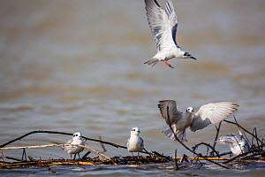 White-winged tern (Chlidonias leucopterus) taking off, Lake Tana Biosphere Reserve, Ethiopia.  -  Bruno D'Amicis