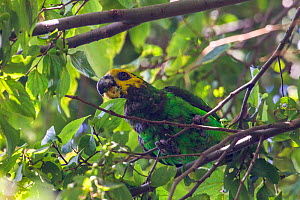Yellow-fronted parrot (Poicephalus flavifrons) perched in tree, Zege peninsula, Lake Tana Biosphere Reserve, Ethiopia. Endemic to Ethiopia  -  Bruno D'Amicis