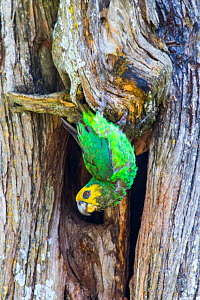 Yellow-fronted parrot (Poicephalus flavifrons) in tree, Zege peninsula, ake Tana. Endemic to Lake Tana Biosphere Reserve, Ethiopia  -  Bruno D'Amicis
