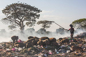 Men driving pigs on rubbish dump, Bahir Dar, Lake Tana Biosphere Reserve, Ethiopia. December 2013.  -  Bruno  D'Amicis