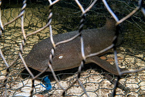 Nurse shark (Ginglymostoma cirratum) young caught in a fishtrap. North Sound, Grand Cayman, Cayman Islands. Caribbean Sea.  -  Alex Mustard