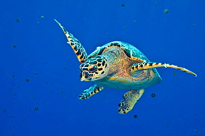 Hawksbill turtle (Eretmochelys imbricata) swimming up into the water column to feed on a bloom of Thimble jellyfish (Linuche unguiculata) in spring. East End, Grand Cayman, Cayman Islands. Caribbean S...  -  Alex Mustard