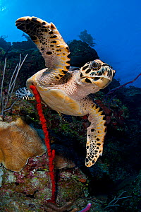 Hawksbill turtle (Eretmochelys imbricata) on a reef wall with a rope sponge. East End, Grand Cayman, Cayman Islands. Caribbean Sea.  -  Alex Mustard