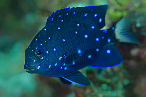 Portrait of an intermediate stage Yellowtail damselfish (Microspathodon chrysurus), this species changes colour during its life to avoid intraspecies aggression. East End, Grand Cayman, Cayman Islands... - Alex Mustard