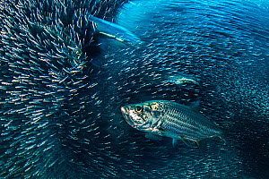 Long exposure of a group of Tarpon (Megalops atlanticus) hunting a school of Silversides (Atherinidae) in a coral cavern. East End, Grand Cayman, Cayman Islands. Caribbean Sea.  -  Alex Mustard