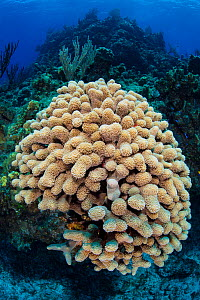 Colony of Finger coral (Porites porites) on a shallow coral reef. Cayman Brac, Cayman Islands. Caribbean Sea.  -  Alex Mustard