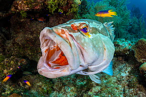 Nassau grouper (Epinephelus striatus) cleaned by Cleaner gobies (Gobiosoma genie) and juvenile Spanish hogfish (Bodianus rufus) on a coral reef. Bloody Bay Wall, Little Cayman, Cayman Islands. Caribbe...  -  Alex Mustard