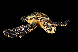 Hawksbill turtle (Eretmochelys imbricata) swimming at night. East End, Grand Cayman, Cayman Islands. Caribbean Sea. - Alex Mustard