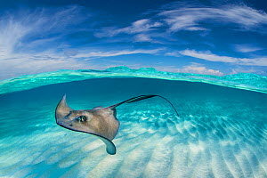 A split level image of Southern stingray (Hypanus americanus) swimming over a sand bar. Grand Cayman, Cayman Islands. Caribbean Sea. Digital composite.  -  Alex Mustard