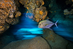 Long exposure of Black jack (Caranx lugubris) swimming through a cavern in a coral reef. East End, Grand Cayman, Cayman Islands. Caribbean Sea.  -  Alex Mustard