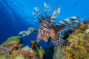 Large male Lionfish (Pterois volitans) moves over the reef. East End, Grand Cayman, Cayman Islands, Caribbean Sea. Invasive species.  -  Alex Mustard