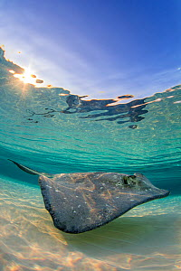 Southern stingray (Hypanus americanus) swimming over a sand bar in the early morning. Grand Cayman, Cayman Islands. Caribbean Sea. - Alex Mustard