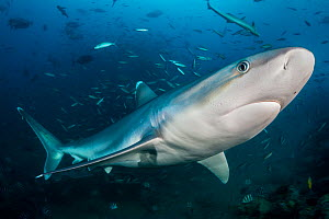 Portrait of Silvertip shark (Carcharhinus albimarginatus). Beqa Lagoon, Viti Levu, Fiji, Polynesia. Tropical South Pacific Ocean. Movement blur added in post production . - Alex Mustard