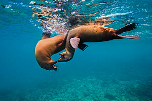 Galapagos sea lions (Zalophus wollebaeki) young playing in shallow water. Floreana Island, Galapagos Islands, Ecuador. East Pacific Ocean - Alex Mustard
