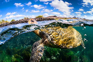 Galapagos green turtle (Chelonia agassizii) surfaces to breathe. Floreana Island, Galapagos Islands, Ecuador. East Pacific Ocean.  -  Alex Mustard