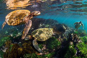 Three Galapagos green turtles (Chelonia mydas agassizii) feeding on seaweed growing on lava rocks in sunny shallow water. Floreana Island, Galapagos Islands, Ecuador. East Pacific Ocean. - Alex Mustard