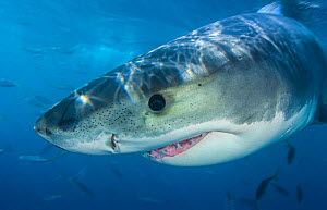 Great white shark (Carcharodon carcharias) portrait, Guadalupe Island, Mexico. Pacific Ocean.  -  Alex Mustard