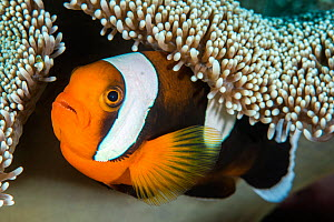 Saddleback anemonefish (Amphiprion polymnus) in anemone home, Anilao, Batangas, Luzon, Philippines. Verde Island Passages, Tropical West Pacific Ocean. - Alex Mustard
