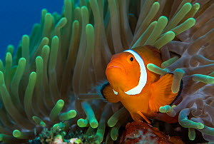 False clown anemonefish (Amphiprion ocellaris) looks out from an anemone. Dauin, Dumaguete, Negros, Philippines. Bohol Sea, Tropical West Pacific Ocean. - Alex Mustard