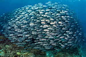 Huge school of Bigeye trevally (Caranx sexfasciatus) swimming over a coral reef. South Atoll, Tubbataha Atolls, Tubbataha Reefs Natural Park, Palawan, Philippines. Sulu Sea.  -  Alex Mustard