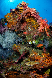 Colourful reef scene with Coral grouper (Cephalopholis miniata), map puffer (Arothron mappa) and Panda butterflyfish (Chaetodon adiergastos). Tank Reef, Fiabacet Islands, Misool, Raja Ampat, Indonesia... - Alex Mustard