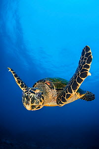 Hawksbill turtle (Eretmochelys imbricata) male swimming in open water above a coral reef. Tank Rock, Fiabacet, Misool, Raja Ampat, West Papua, Indonesia. Ceram Sea,  Tropical West Pacific Ocean. - Alex Mustard