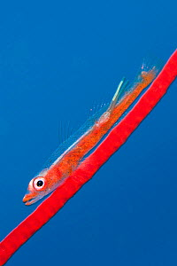 Large whip goby (Bryaninops amplus) with a parasitic copepod (with two trailing egg ribbons) perched on Red whip coral. Whale Rock. Fiabacet Islands, Misool, Raja Ampat, West Papua, Indonesia. Ceram S... - Alex Mustard