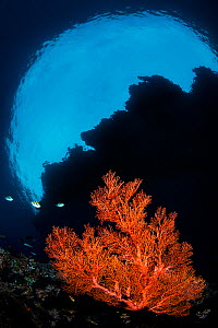 Red sea fan (Melithaea sp.) growing beneath the overhang of an island. Andiamo, Daram Islands, Misool, Raja Ampat, West Papua, Indonesia. Pacific Ocean. - Alex Mustard