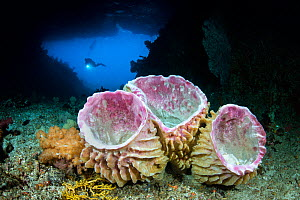 Diver swimming through Tolberone Tunnel, a triangular tunnel through the middle of an island in Raja Ampat. Giant barrel sponges (Xestospongia muta) growing on the floor of the tunnel, which have an u... - Alex Mustard