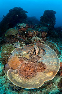 Pair of courting tassled wobbegong sharks (Eucrossorhinus dasypogon) on a large circular plate coral on a coral reef. Blue Magic, Raja Ampat, West Papua, Indonesia. Dampier Strait, Tropical West Pacif... - Alex Mustard