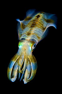 Portrait of Bigfin squid (Sepioteuthis lessoniana) hovering in open water above a coral reef at night. Dampier Strait, Raja Ampat, West Papua, Indonesia. Tropical West Pacific Ocean  -  Alex Mustard