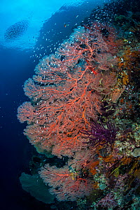 Giant seafans (Melithaea sp.) growing on the wall of a channel between islands,  with Glassfish (Ambassidae) Gorgonian Passage, Wayil Batan, Misool, Raja Ampat, West Papua, Indonesia. Ceram Sea.  -  Alex Mustard