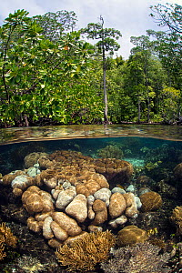 Hard corals growing beneath trees in a mangrove forest. Yanggefo Island, Gam Island, Raja Ampat, West Papua, Indonesia. - Alex Mustard