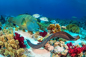 Group of predators hunting together, in an example of 'Nuclear foraging'. The Moray eel (Gymnothorax javanicus) flushes out prey, and is followed by a Napolean wrasse (Cheilinus undulatus) and a Bluef...  -  Alex Mustard