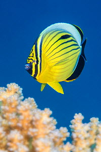 Exquiste butterflyfish  (Chaetodon austriacus) swimming over coral looking for polyps to feed on. Ras Katy, Sharm El Sheikh, Sinai, Egypt. Red Sea.  -  Alex Mustard
