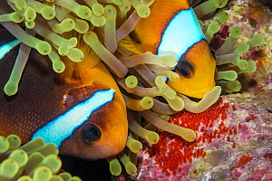 Red Sea anemonefish (Amphiprion bicinctus) rubbing non-stinging side of tentacle of Magnificent sea anemone (Heteractis magnifica) over her freshly laid eggs. This covers them in anemone mucous and pr... - Alex Mustard