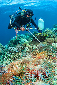 Diver injecting a toxin into Crown of thorn starfish (Acanthaster planci), which feeds on reef building corals. Buyat Bay, North Sulawesi, Indonesia. Molucca Sea. - Alex Mustard