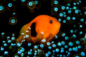 Red saddleback anemonefish (Amphiprion ephippium) in its host anemone. East of Eden, Similan Islands, Thailand. Andaman Sea, Indian Ocean. Endemic to Andaman Sea. - Alex Mustard