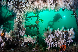 Diver exploring the wreck of HMS Scylla, which is colonized by Dead man's fingers (Alcyonium digitatum). Whitsands Bay, Cornwall, England.  UK, July.  -  Alex Mustard